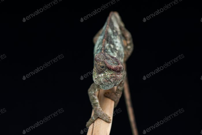 panther chameleon isolated on black background