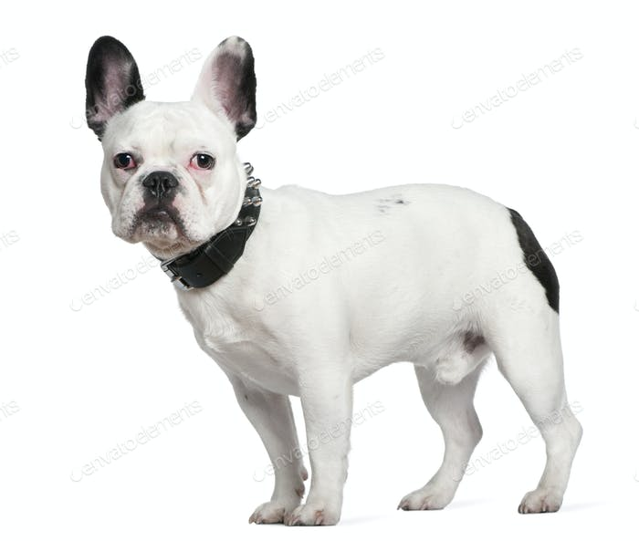 French bulldog, 10 months old, standing in front of white background