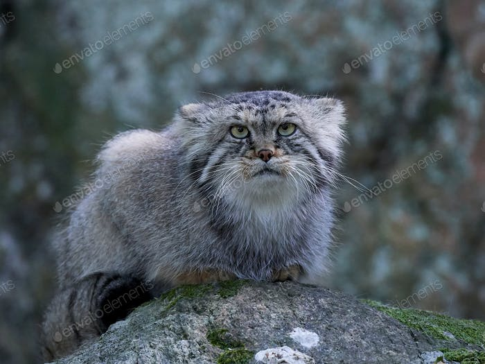 Pallas cat (Otocolobus manul)