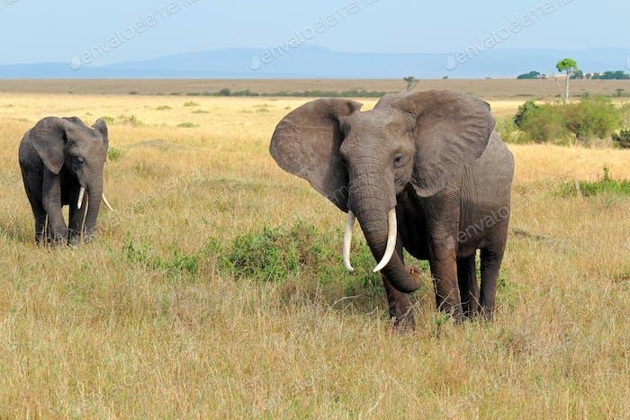African elephants - Masai Mara