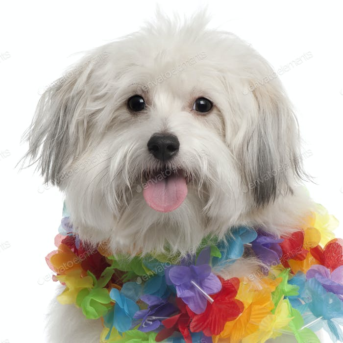 Close-up of Mixed-breed dog, 10 months old, wearing Hawaiian lei in front of white background