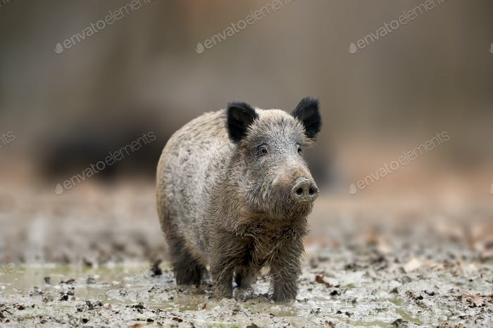 Big Wild boar. Autumn in the forest.