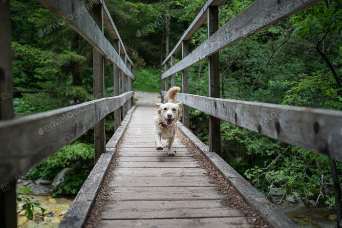 Happy cute dog running on a wooden bridge across a river