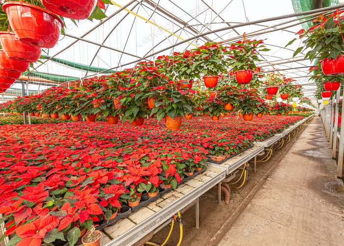 Poinsettias in greenhouse