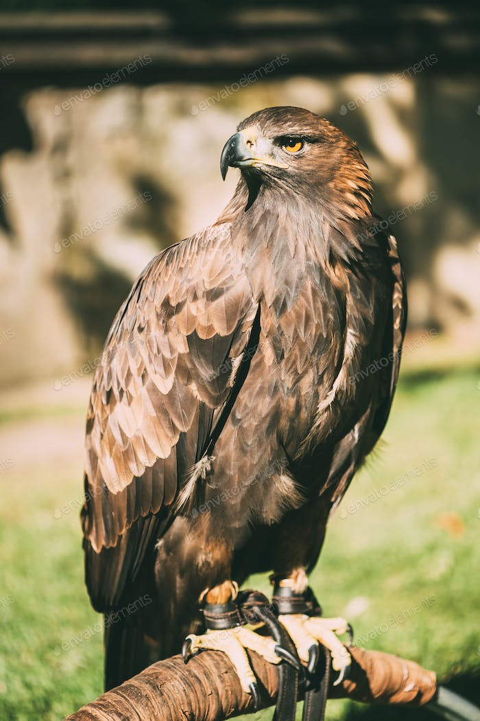 Sitting Golden Eagle Haliaeetus albicilla. Wild bird