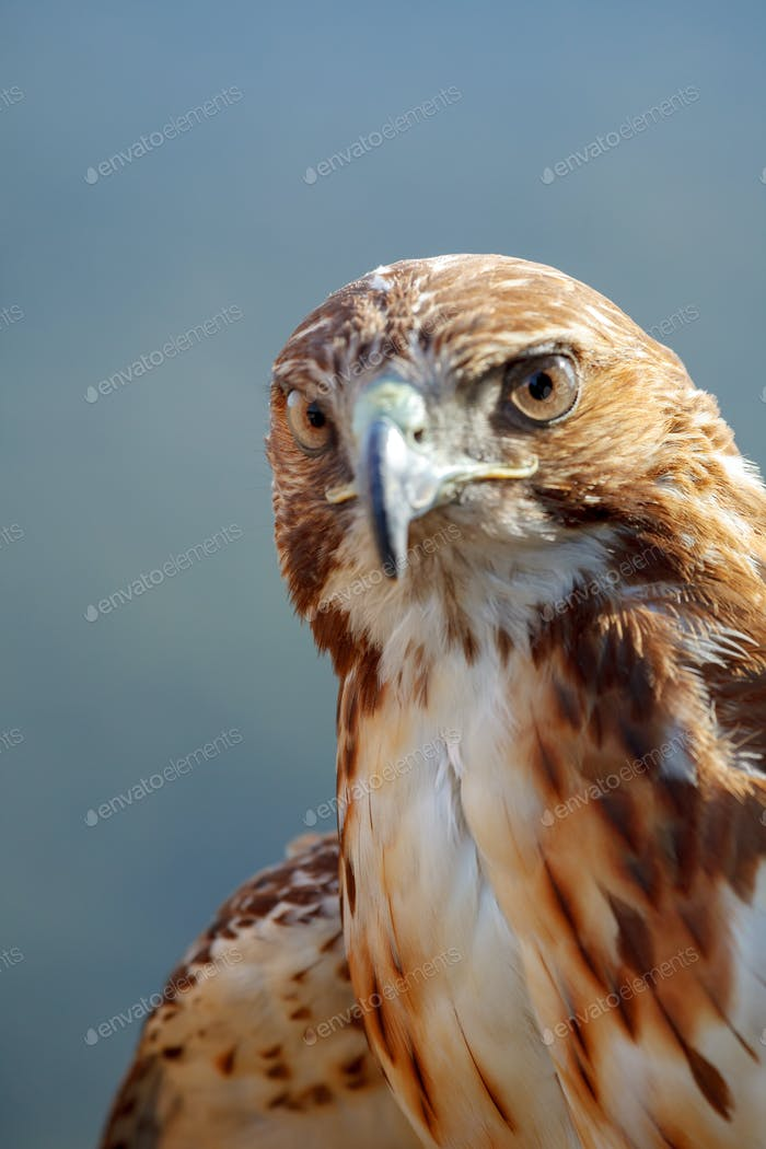 Eagle of red tail (Buteo jamaicensis)