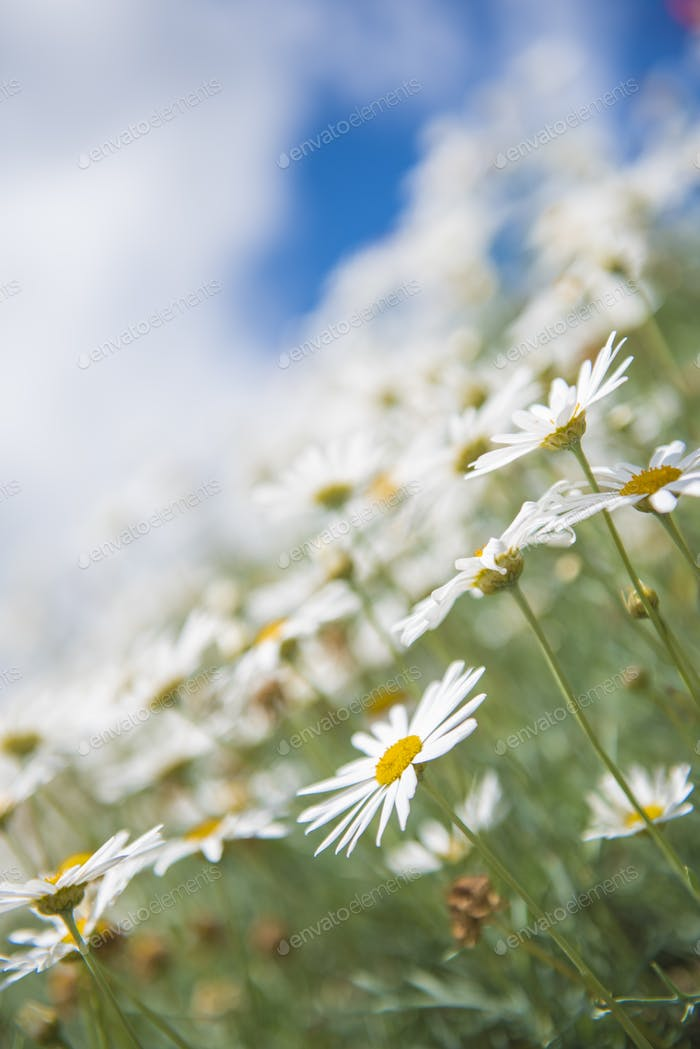 Blooming white daisies in the garden