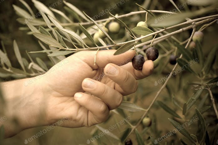 Picking olives by hand