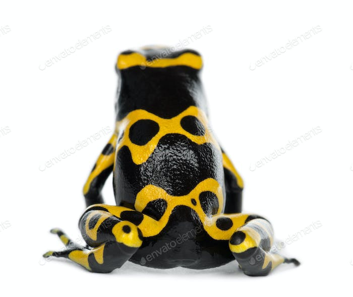 Rear view of a Yellow-Banded Poison Dart Frog