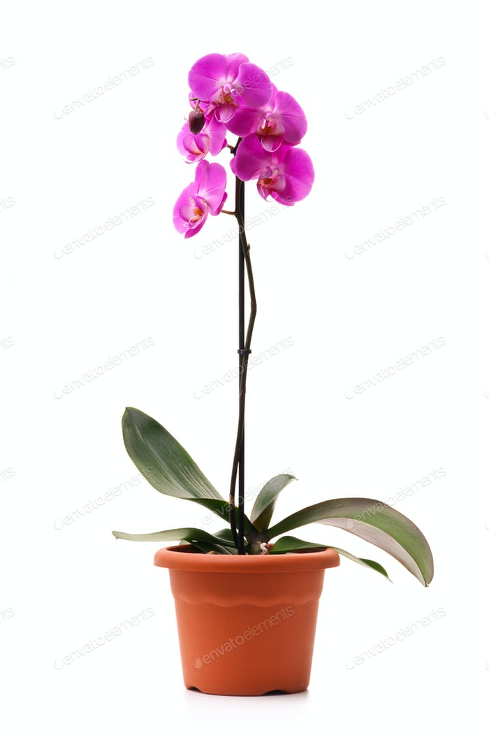 Pink orchid in a flowerpot