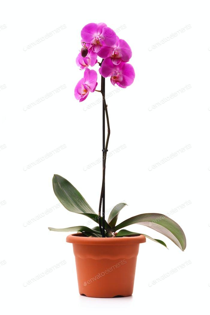 Rosa Orchidee in einem Blumentopf