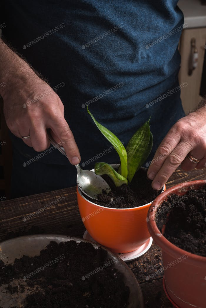 Man in a blue shirt indoor plants flower in orange pot