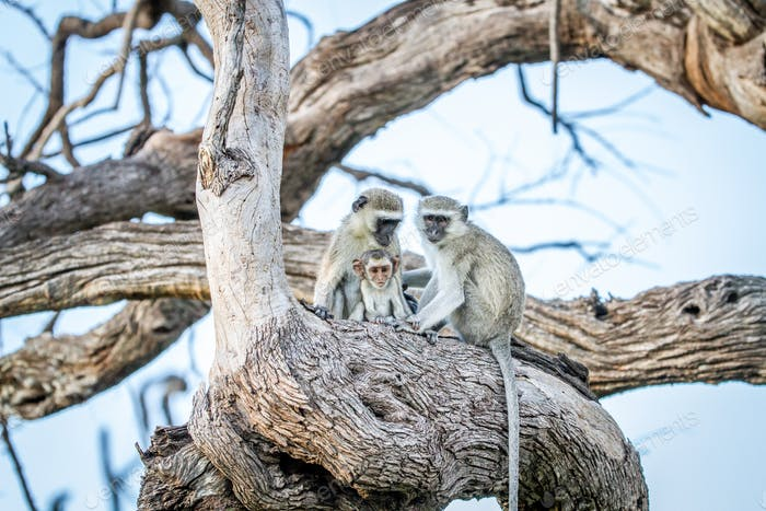 Family of Vervet monkeys sitting in a tree.