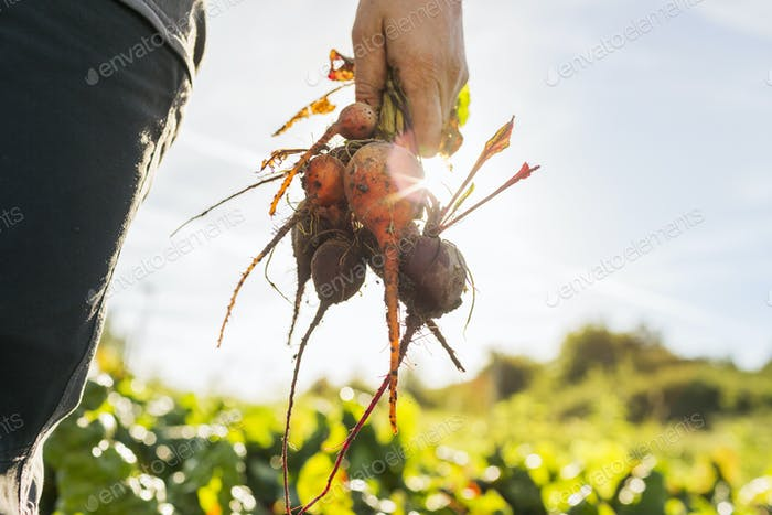 Close-up of woman holding beetroots
