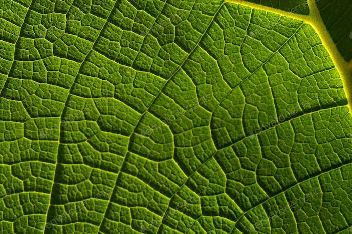 Hintergrund des grünen Blattes und der Vene