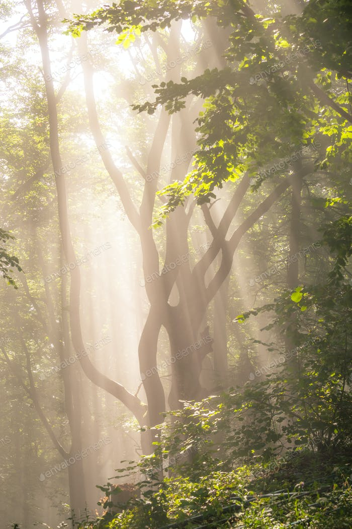 Morning sun rays in forest