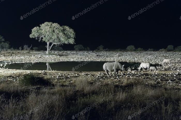 Black rhinos at an artificially lit waterhole