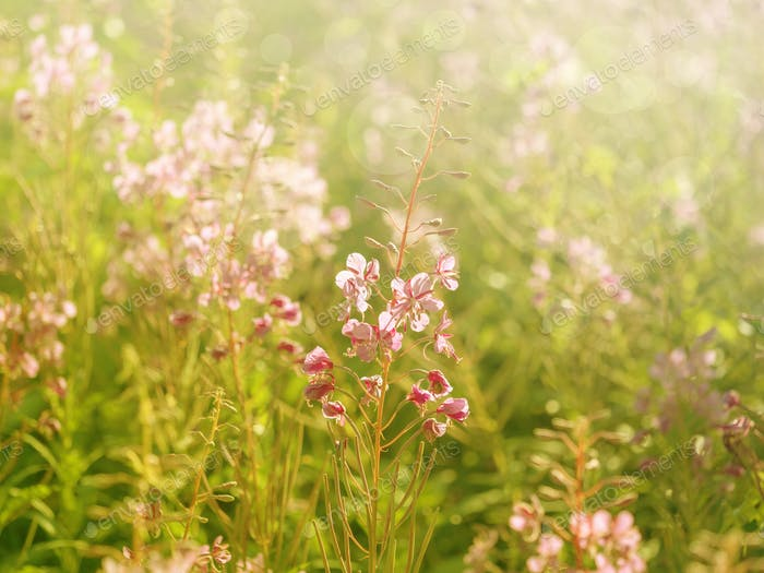 Flowers of fireweed in the soft sunlight of the early morning, image with bokeh and filters