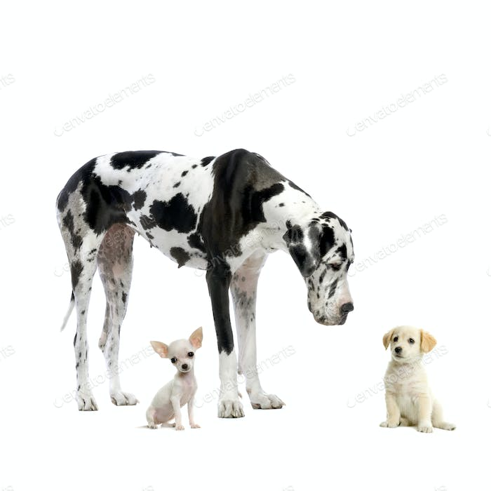 Great Dane, puppy Chihuahua and puppy Labrador
