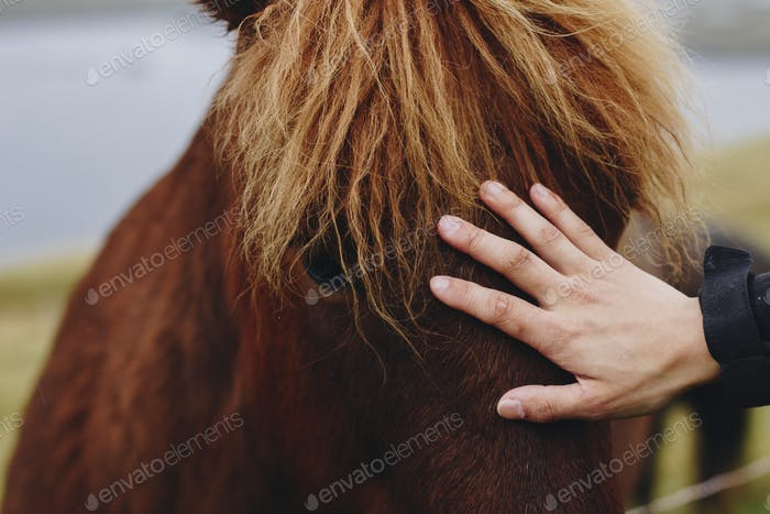Human hand petting an brown Icelandic horse