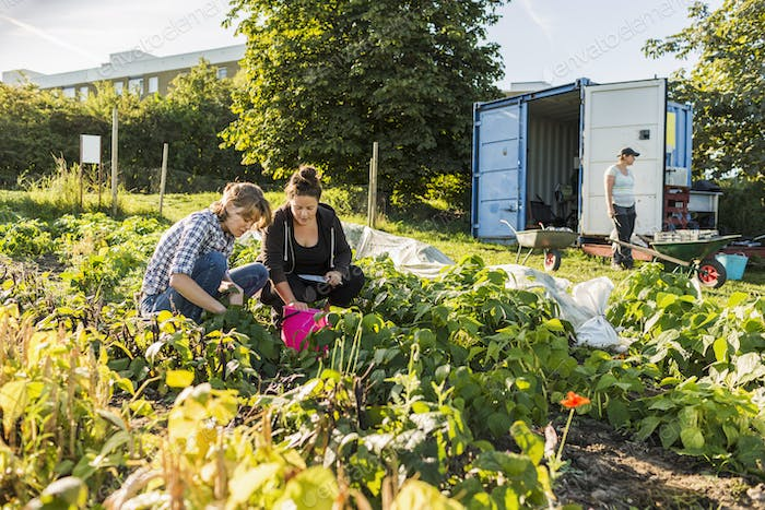 Three women working on allotment