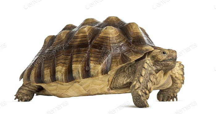 Thumbnail for Male African spurred tortoise (4 years old), Centrochelys sulcata, in front of a white background