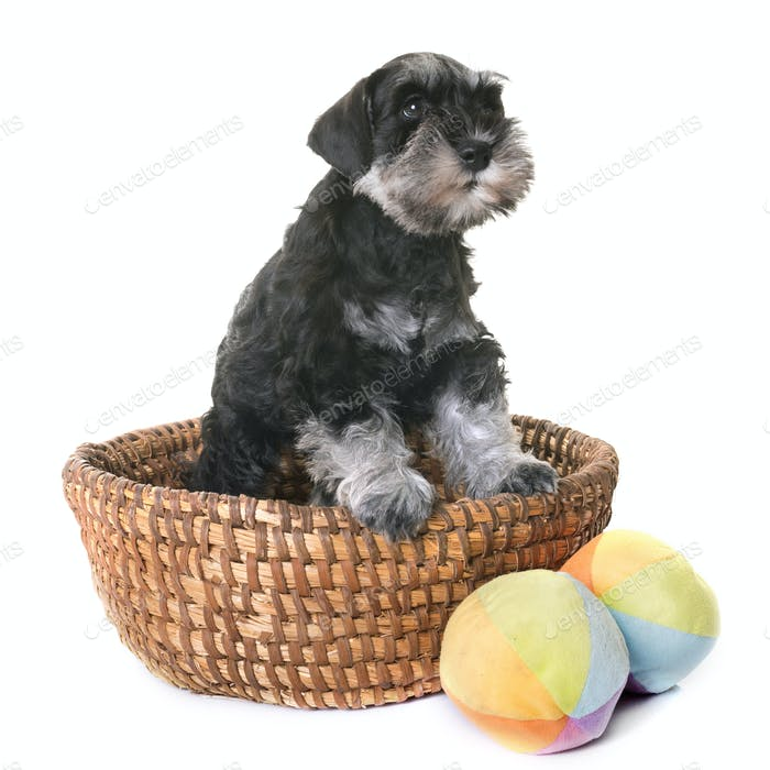 puppy miniature schnauzer