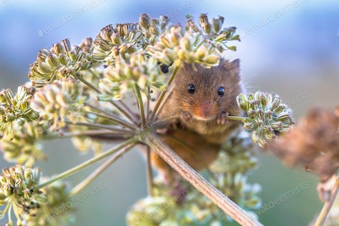 Eurasische Ernte Maus Fütterung auf Samen