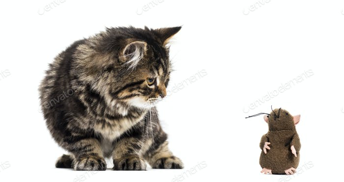 Stripped kitten mixed-breed cat looking down at a toy mouse, isolated on white