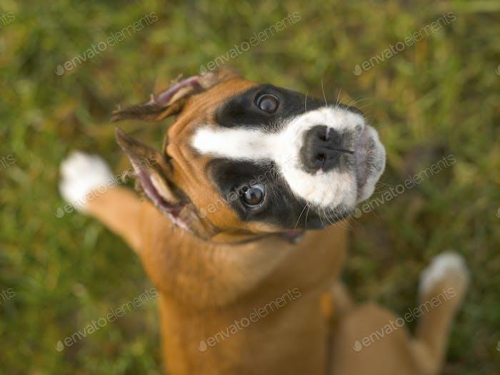 Kleiner Welpe von Boxer Rasse Hund auf einem Hintergrund von grünem Gras
