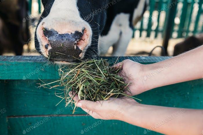 Nahaufnahme Teilansicht des Landwirts, der Heu hält und Kuh am Stand füttert
