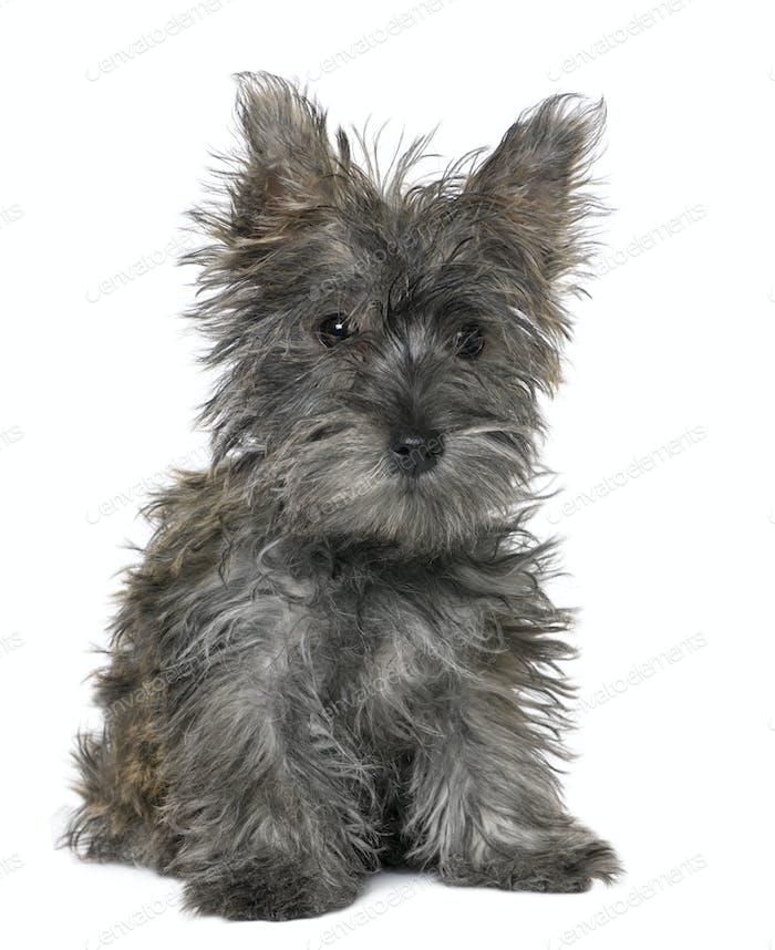 black Yorkshire Terrier puppy sitting