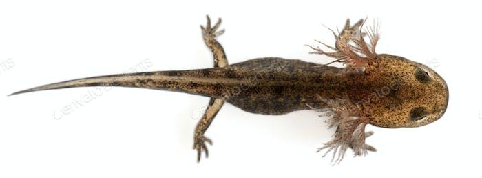 High angle view of Fire salamander larva