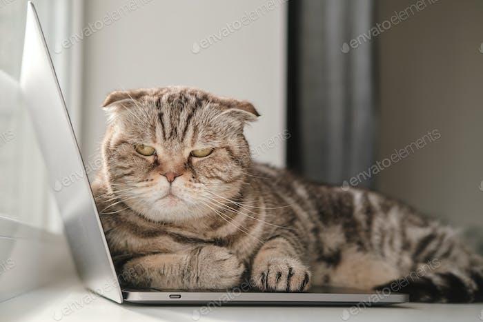Unzufriedene Katze aus Mangel an Aufmerksamkeit legte sich auf dem Laptop und verhindert, dass der Besitzer arbeitet