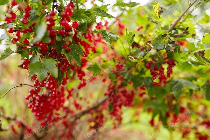 red currant bush at summer garden
