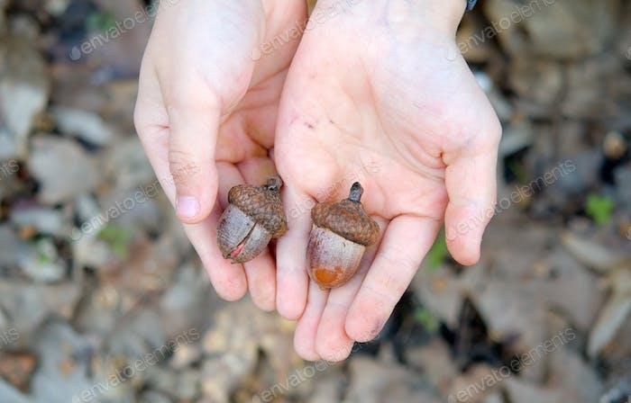 hands of acorns