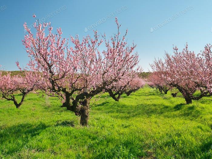 Obstgarten blühender Frühling Garten.