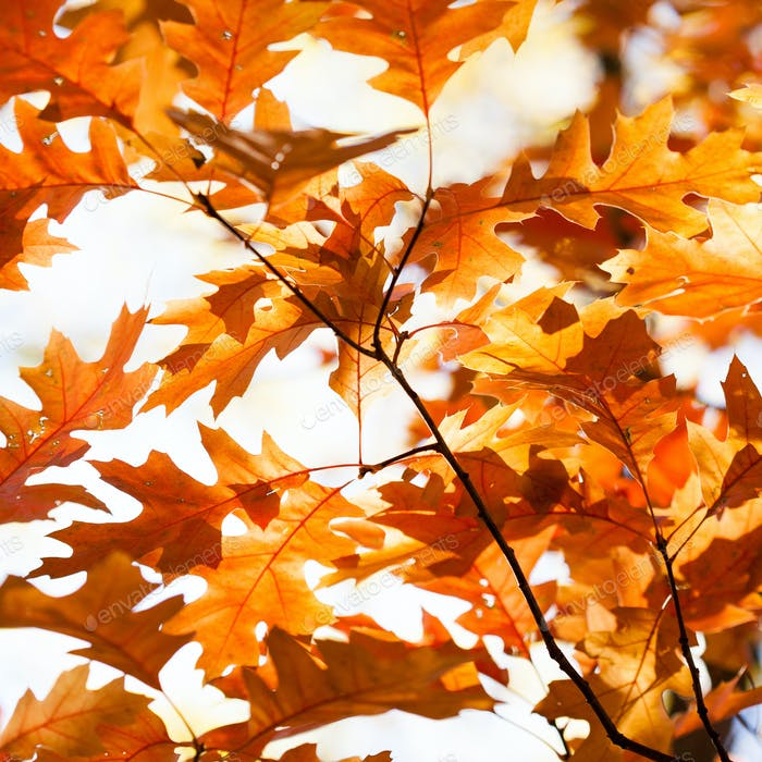 Autumn background with red oak tree foliage branch.