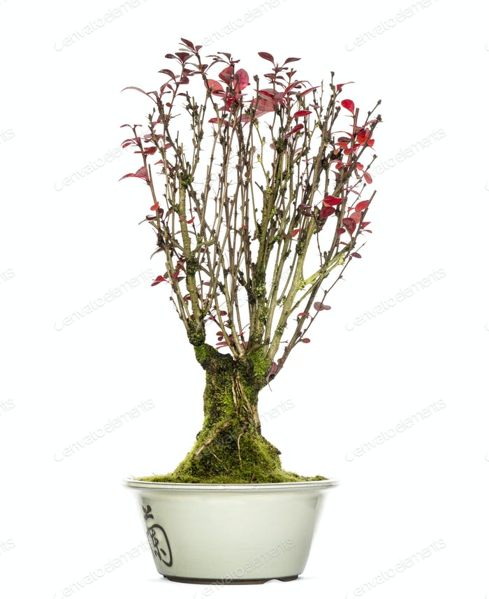 Berberis Bonsai Baum, isoliert auf weiß