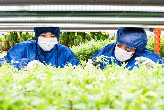 Two women working with green seedlings of new sorts of horticultural plants