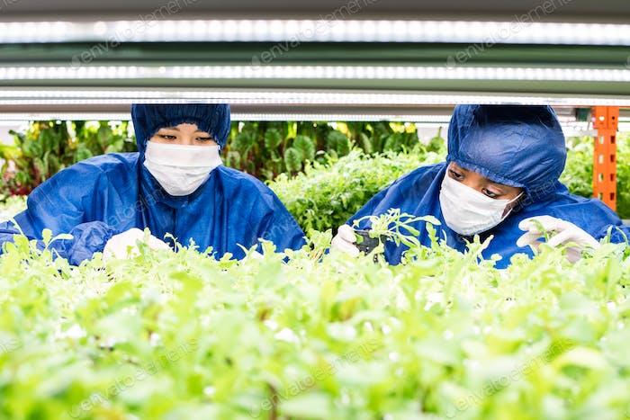Zwei Frauen, die mit grünen Sämlingen von neuen Arten von Gartenbaupflanzen arbeiten