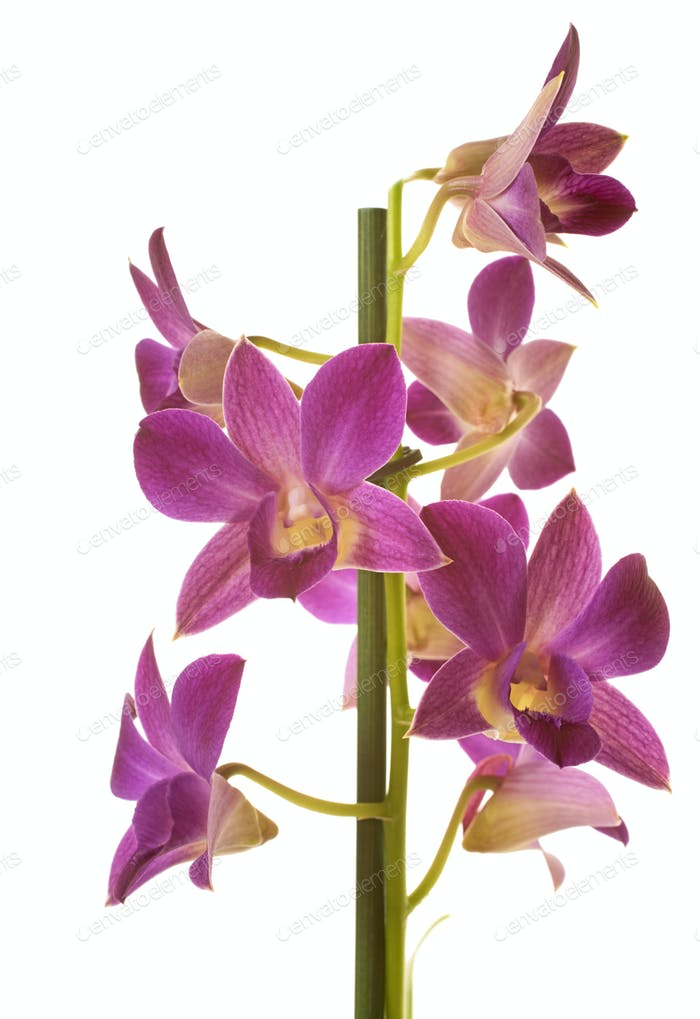 Dendrobium orchids in studio