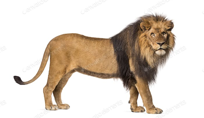 Side view of a Lion standing, looking at the camera, Panthera Leo, 10 years old, isolated on white