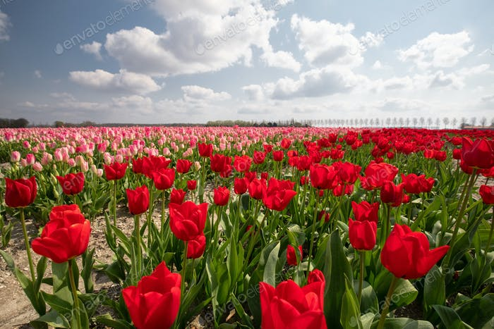 pink and red tulip field and blue sky