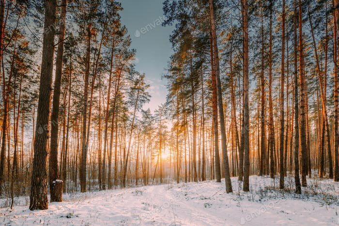 Sunset Sunrise Sun Sunshine In Sunny Winter Snowy Coniferous For
