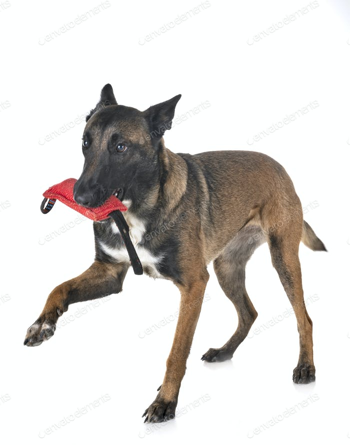 malinois in studio