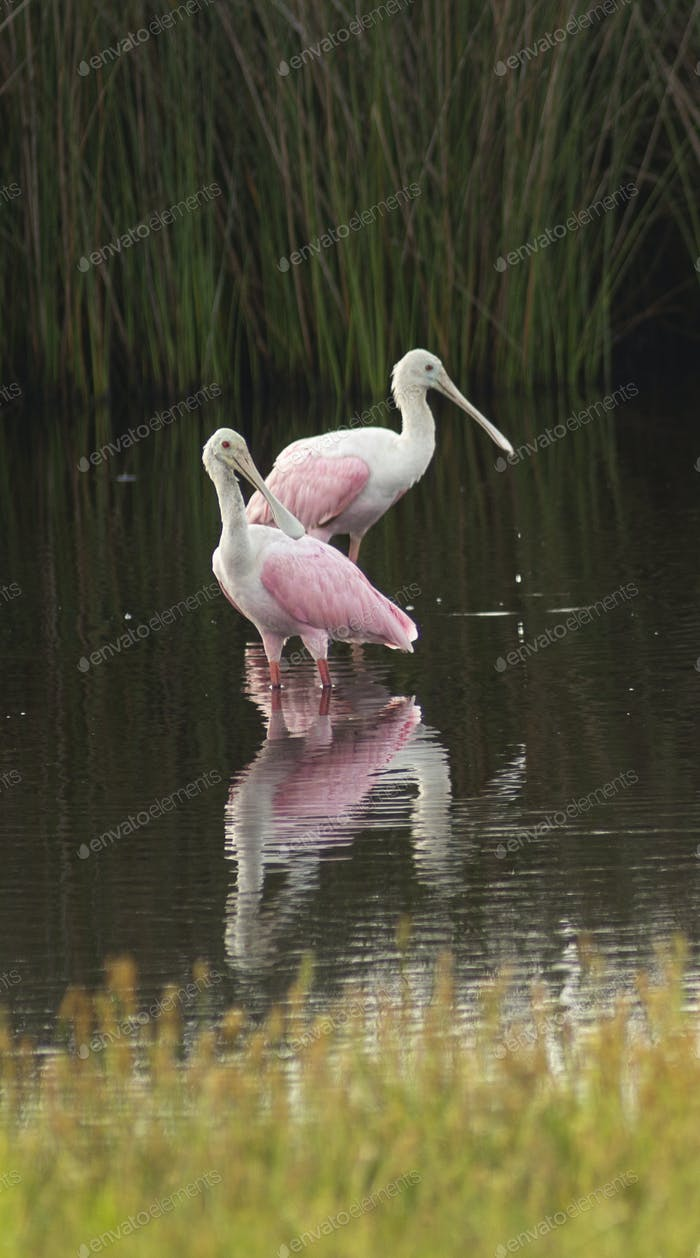 Two Roseate Spoonbills Wade in the Marsh in Georgia United States