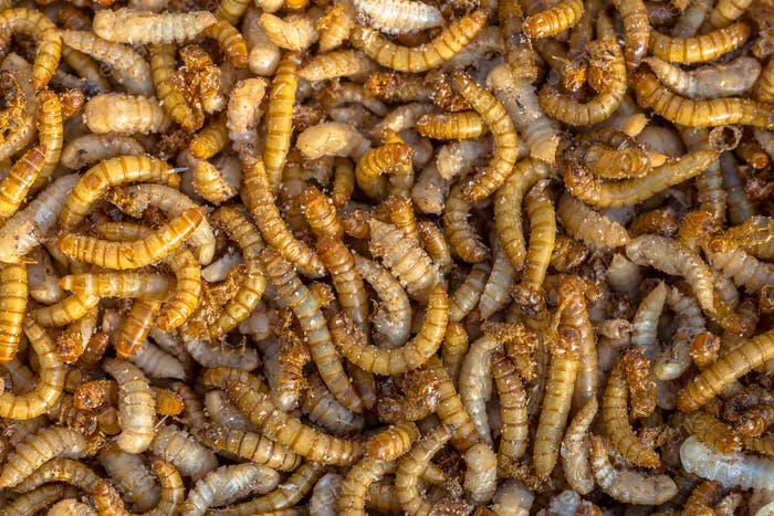Living mealworm larvae background