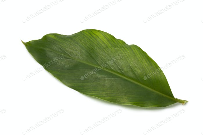 Single green cardamom leaf
