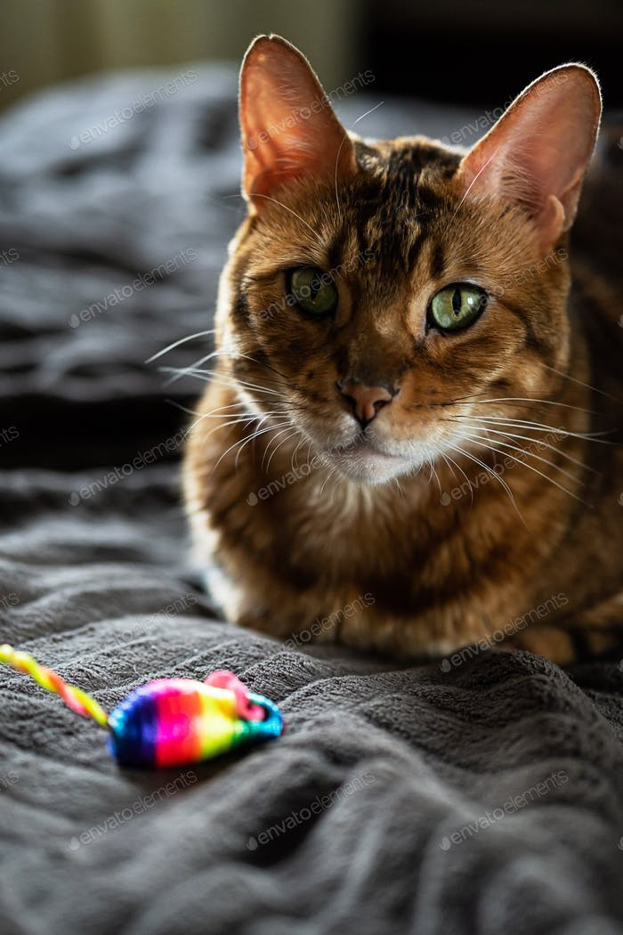 Beauty Bengal Cat with Rainbow Toy Mouse. Cute Cat Lies with Colorful Mouse at Home.